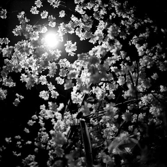 JAPANESE PAPER BLOSSOM, CIRCA 1957  BEATON, SIR CECIL, CBE (1904-1980)