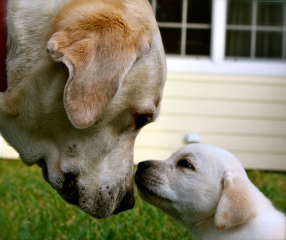 Fleetwood and his nephew Huckleberry, yellow Labradors from North Palm Beach, Florida