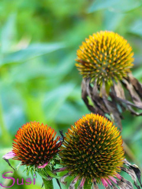 Naja, das macht doch eine Herbstblume wie den Sonnenhut doch aus - dass er auch verblüht noch eine gute Figur macht.