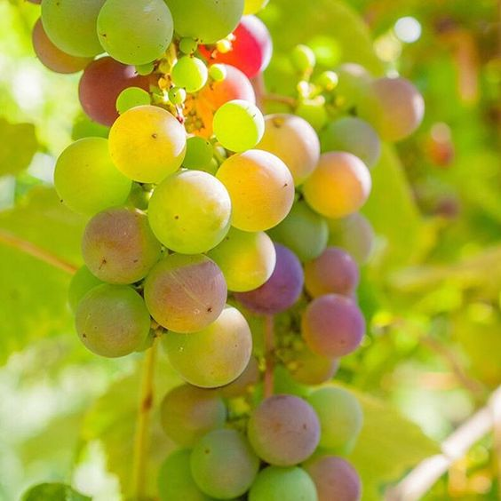 Ripening grapes on the #vine #Image #Grapes #Vineyard Free downloading @kozziimages: http://kozzi.tv/SJa2L | Royalty Free Stock Images for just $1