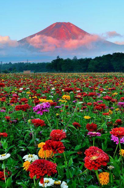 夕焼けの富士山と綺麗で美しい花畑