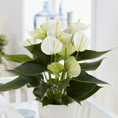 Flamingo Plant Anthurium White Champion In 2020 Flamingo Plant Anthurium Plants