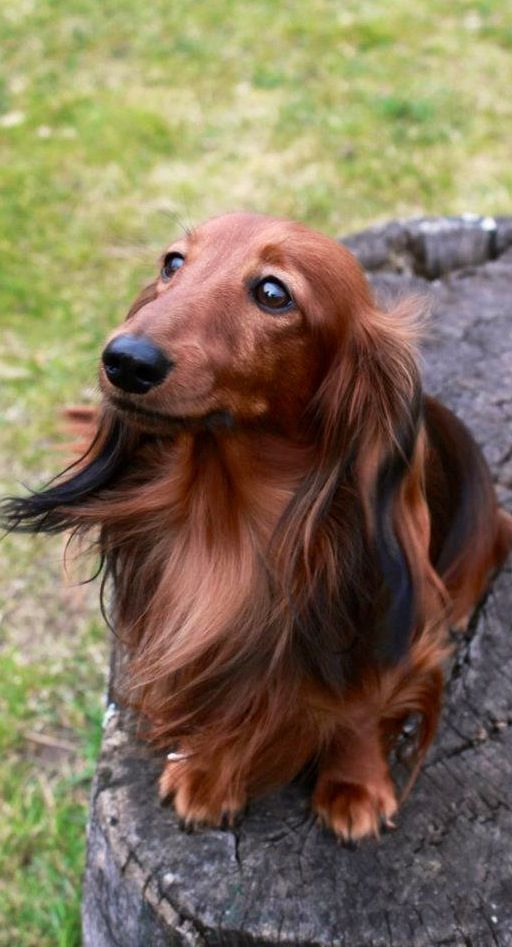 How To Find And Remove Ticks From Dogs Dachshund Dog Dogs
