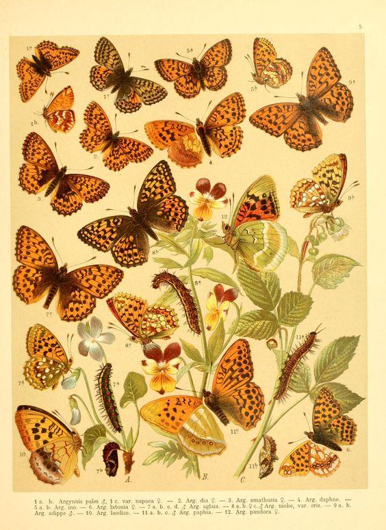 Fr. Berge's Schmetterlingsbuch nach dem gegenwärtigen Stande der Lepidopterologie neu bearb. und hrsg. von Professor Dr. H. Rebel ... - Biodiversity Heritage Library