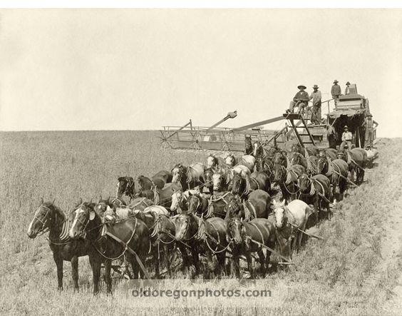 32 Mules Pulling a Holt Bros. Side-hill Harvester ...