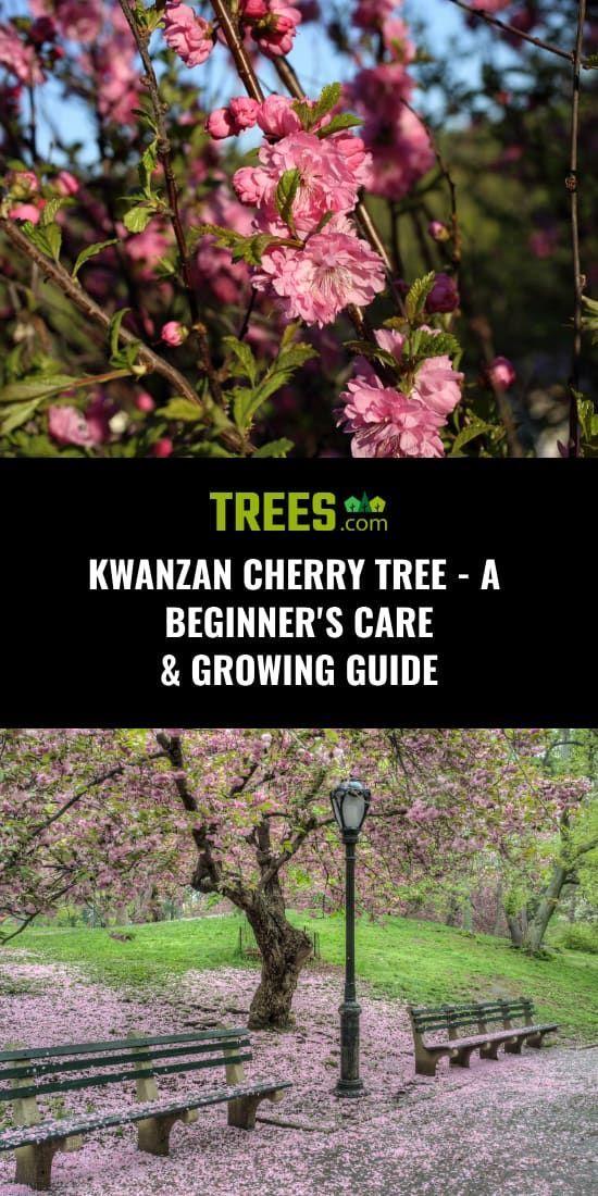 Kwanzan Cherry Tree A Beginner S Care Growing Guide Kwanzan Cherry Cherry Trees Garden Flowering Cherry Tree
