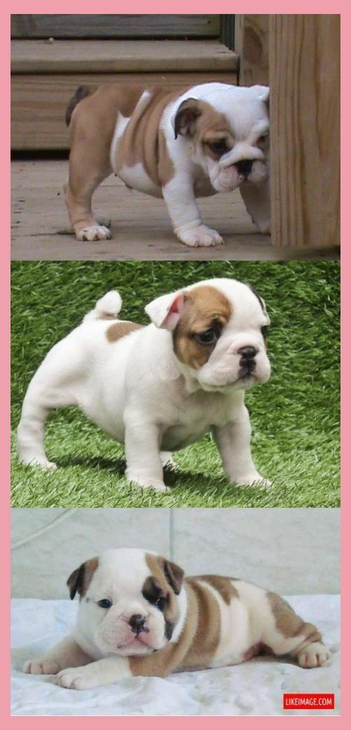 Mini English Bulldog Puppies For Sale Miniature Bulldog Pup