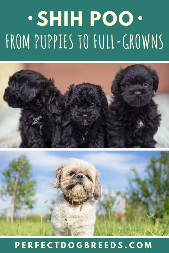 Shih Poo Puppy To Fullgrown Shih Poo Puppies Shih Poo Puppy Grooming