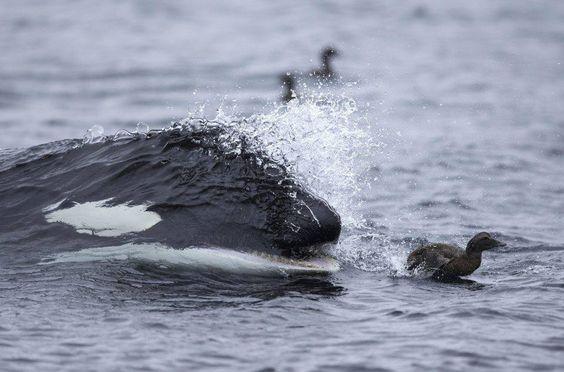 Stunning image of killer whales hunting ducks off the coast of Shetland last week...