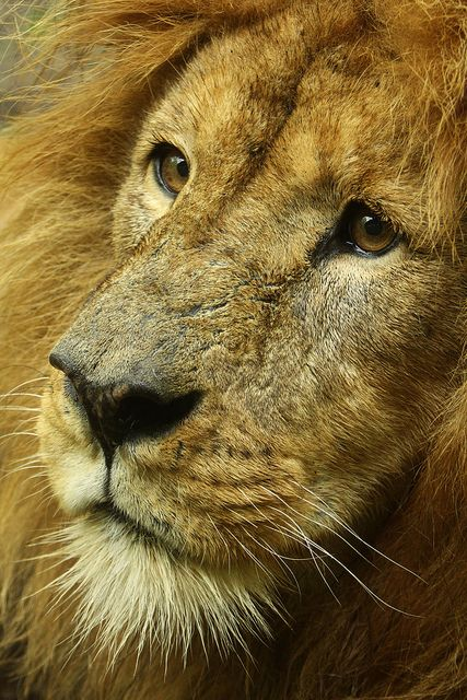 The Mighty Lion. Leeuw - BurgersZoo by K.Verhulst: