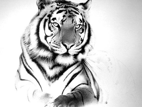Tiger drawing wolf pinterest tigres dessin tigre et - Image dessin tigre ...