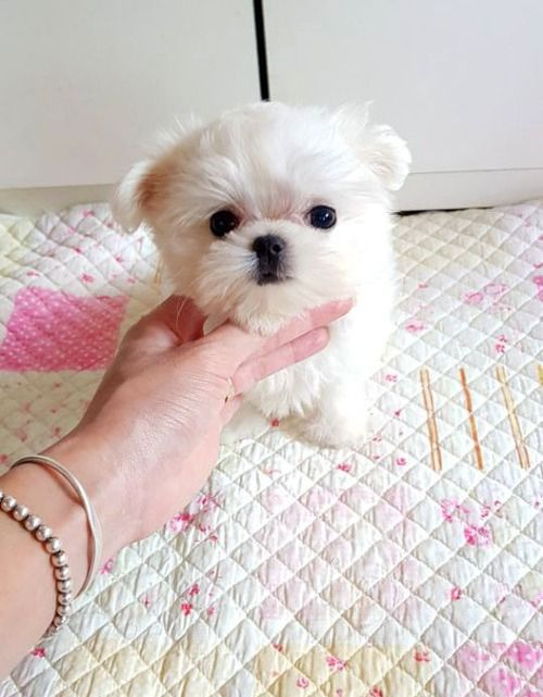 Maltese Puppies For Sale Phoenix Az Maltese Puppies For Sale