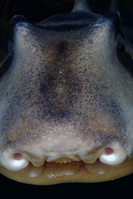 Port Jackson Shark | da PacificKlaus