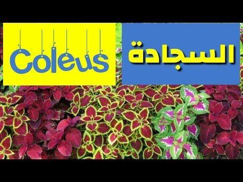 طريقة زراعة و اكثار نبات السجاد الكوليس فى المنزل Coleus Youtube Planting Herbs Agriculture Plants
