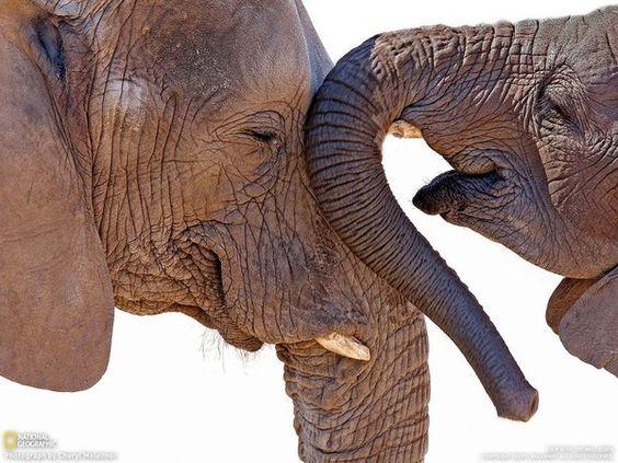Elefantes, dizem que eles tem uma boa memria. phmazza