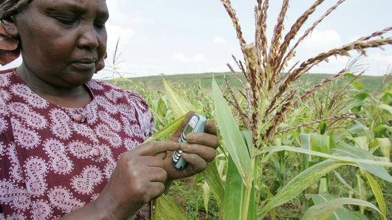 Kenya is on the brink of approving GMOs.  Most African countries have locked out GMO crops, but a few are beginning to open their doors.