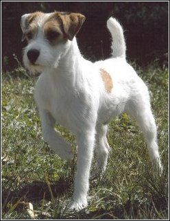 Parson Russell Terrier. this is what our 'jack' at home is more classified as apparently.  so cute: