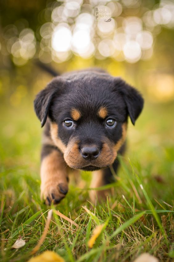 5 Dog Breeds That Are Easy To Train Puppies Rottweiler Puppies