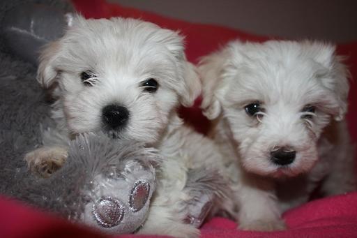 Maltipoo Puppy For Sale In Chesapeake Va Adn 69174 On Puppyfinder Com Gender Female Age 8 Weeks Old Maltipoo Puppies For Sale Maltipoo Maltipoo Puppy
