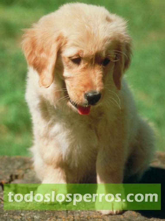 imagenes de perros labradores - Buscar con Google