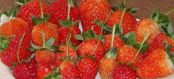 Frutillas hidroponicas 2015