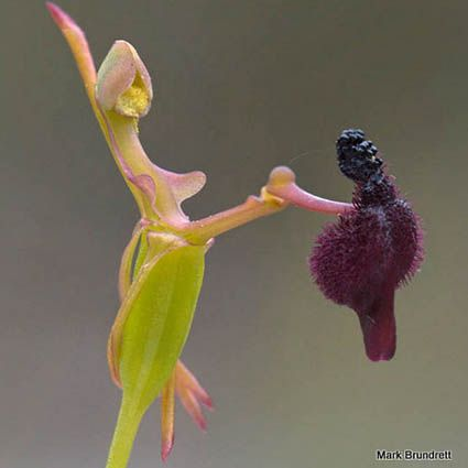 "~ Drakaea orchid ~  An endangered genus, the Drakaea orchid is often referred to as the ""hammer orchid"" for its unique shape and movement.  Photo source: Creative Commons/Mark Brundrett"