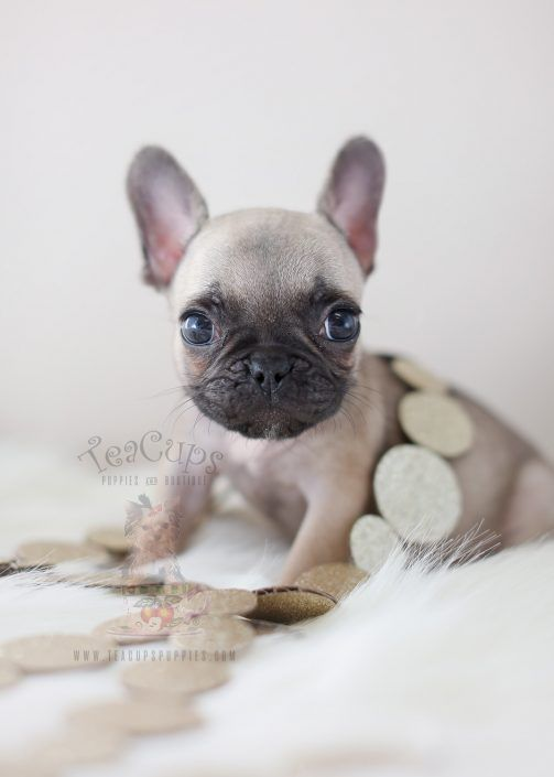 Tiny French Bulldog Puppy By Teacup Puppies Boutique Home