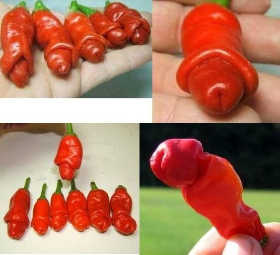 Omg u can grow peppers thatvlooks like lil wangs to funny. I wanna give the seeds to someone but not tell them they will look like cocks lol