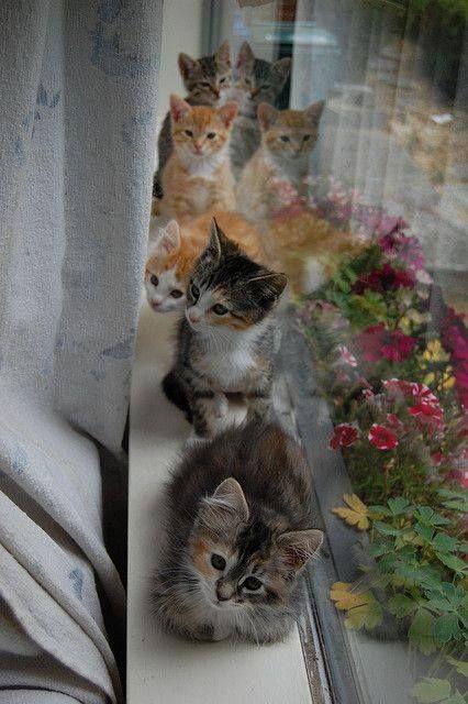 Une Jolie rangée de 5 jeunes Chats sur un rebord de fenêtre, devant des Pétunias