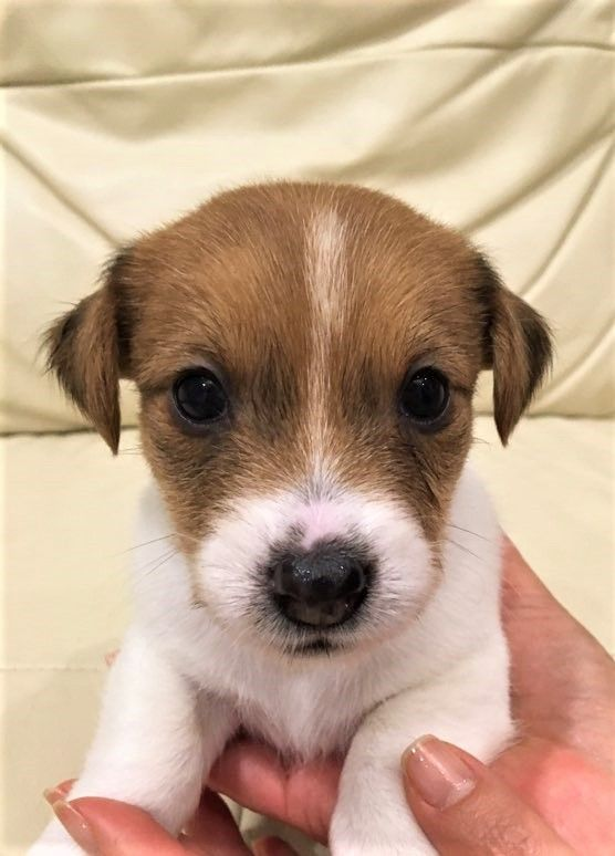 2 Months Old Jack Russell Milky Does Cute Things Before He Goes To Bed When His Owner Is Jack Russell Puppies Jack Russell Terrier Puppies Jack Russell Terrier
