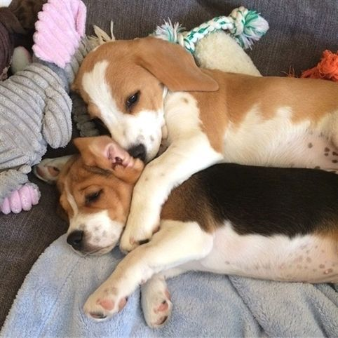 Throw Back To Puppy Days Beagle Puppies Beautiful Nature Pup