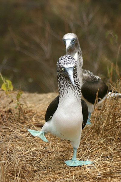**The Blue Footed Booby...