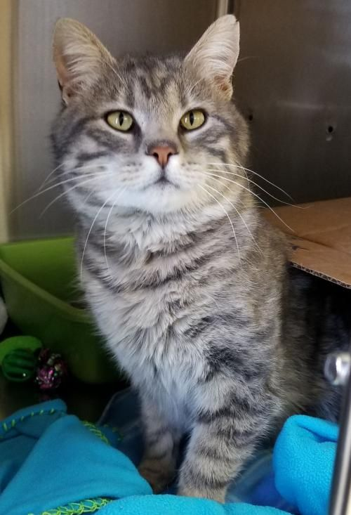 Hi I M Donny I M An Adult Neutered Male Gray Blue Or Silver