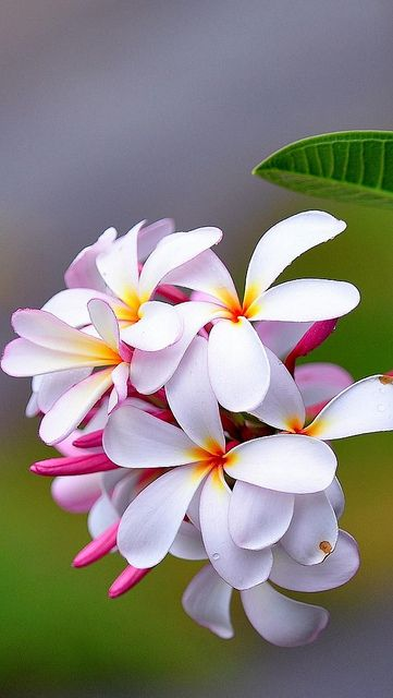 Plumeria~ These grew outside my house in the ricefields in Bali. The smell was intoxicating. #memories