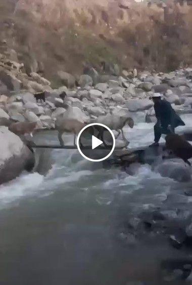 OS melhores pastores cuidando de ovelha,conduzindo