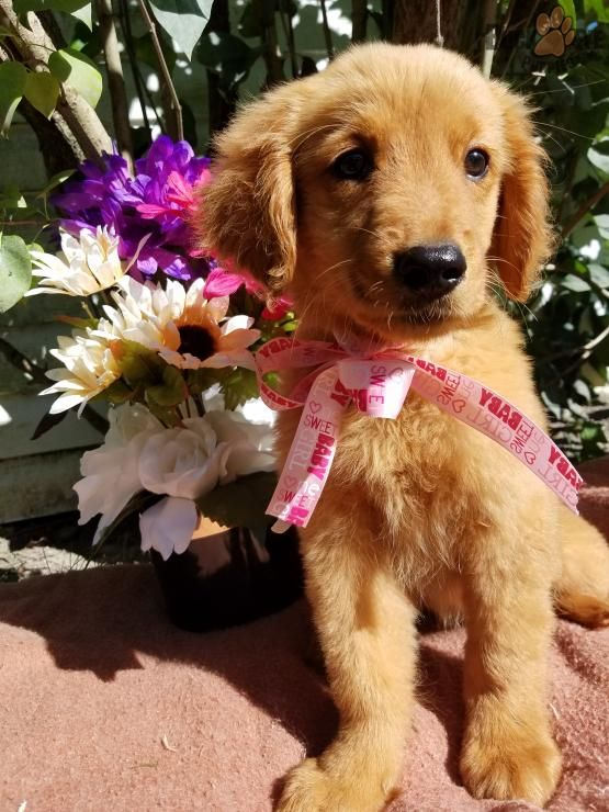 Basil Golden Retriever Puppy For Sale In Fort Wayne In
