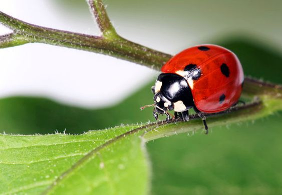 how to get rid of ladybugs indoors