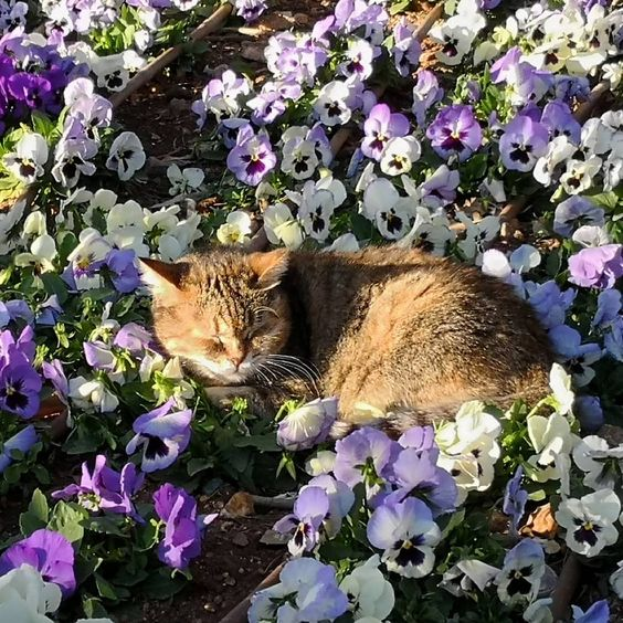Cat among the pansies #catsofmalta