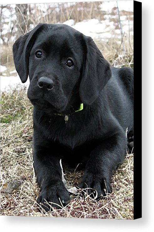 Awaiting Spring Black Lab Puppy Canvas Print Canvas Art By Black Dog Art Judy Burrows Black Labrador Puppy Labrador Retriever Training Labrador Puppy