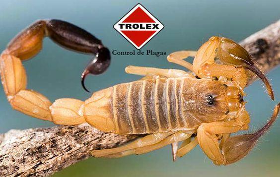 Eliminar infestación de Alacrán - Trolex Como controlar infestación de alacrán  El alacrán es de la especie de los arácnidos, algunos de sus parientes cercanos son las garrapatas, ácaros y arañas.