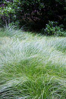 """Carex praegracilis   """"Clustered Field Sedge"""""""