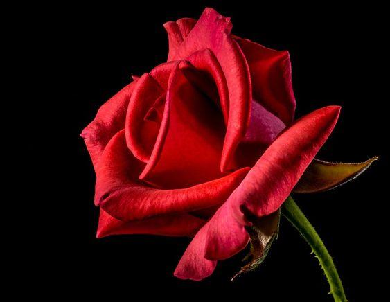 Rose Rouge, Ont Augmenté De, Rose Bloom, Fleur, Rouge: