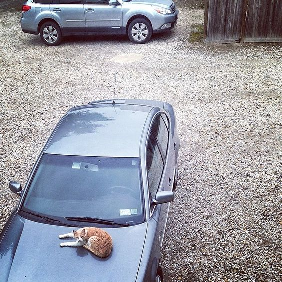 If you park behind the north side of main st. #bridgehampton, there's a decent chance you'll find this #cat chillin' on your car.