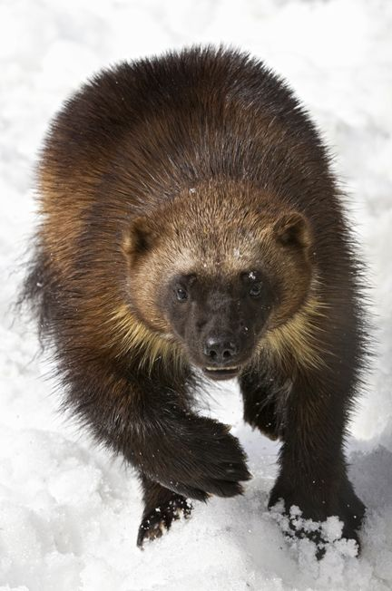 wolverines - Google Search