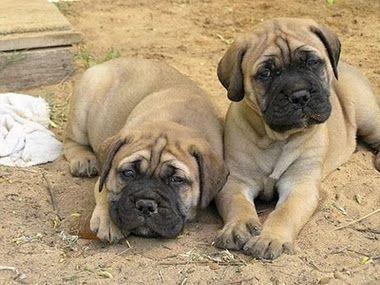 bullmastiff puppies!!! I sooo want one plz!!! >.