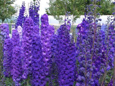 VW Garden: New and Improved Delphiniums