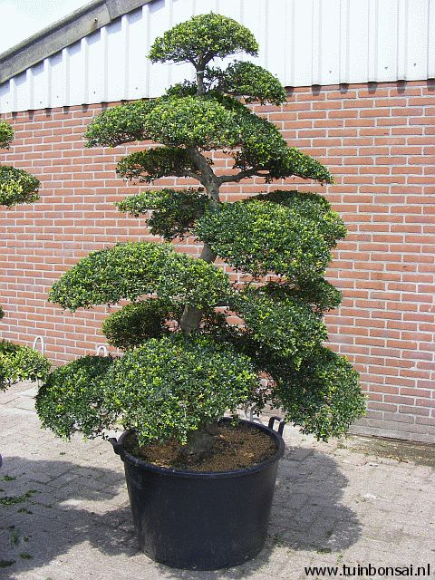 ilex crenata kinme bonsai mooie vormbomen voor in de tuin. Black Bedroom Furniture Sets. Home Design Ideas