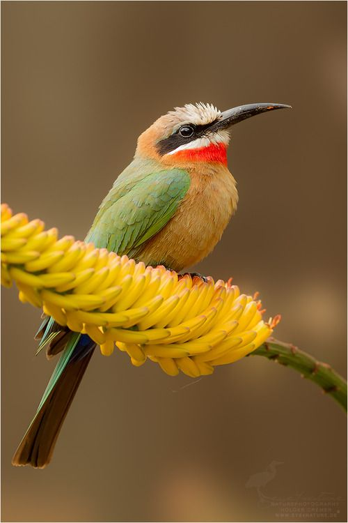 Beautiful Bee Eater!!  The White-fronted Bee-eater - Merops Bullockoides, is a species of  bee-eater widely distributed in sub-equatorial Africa.      Photo by Holger Cremer.