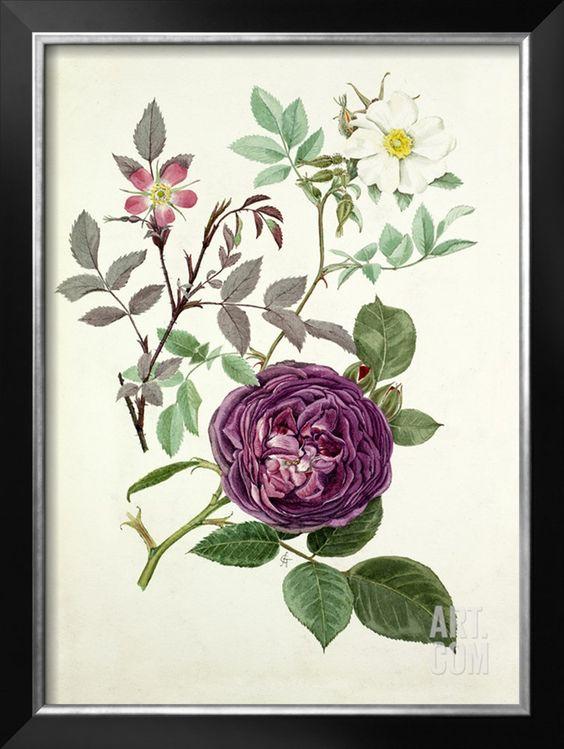 Rosa glauca, Rosa fedtschenkoana, Rosa Reine des violettes Giclee Print by Graham Stuart Thomas at Art.com