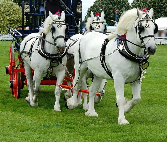 Three stunning gray Percherons in a unicorn hitch. These are the modern type. In a number of countries it has been bred lighter, leaner, and more refined-looking than France's original heavy horse; which is still standard there. photo: Alan Waring.